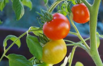 bush-tomatoes-876963_1280