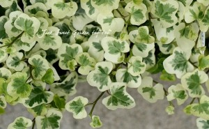 壁面緑化 植物