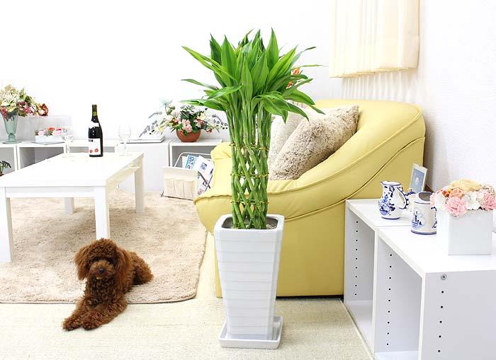 観葉植物 竹