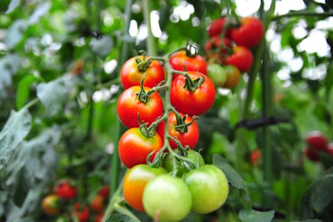 トマトの育て方プランター