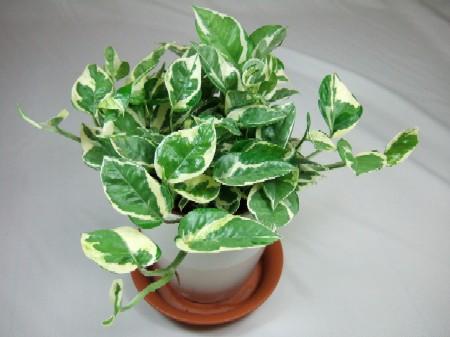 育てやすい観葉植物 ランキング
